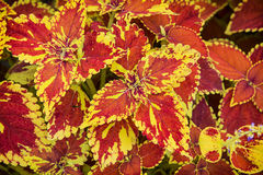 Red and yellow begonia plant. Natural background Royalty Free Stock Photos