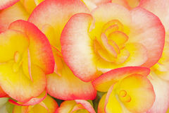 Red and Yellow Begonias Royalty Free Stock Photography