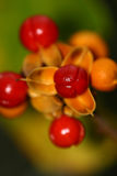Red and yellow berries. From Bittersweet bush royalty free stock photos