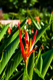 Red and Yellow Bird of Paradise. Close up shot of a red and yellow Bird of Paradise flower Stock Photo