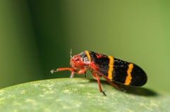 Red, Yellow, and Black Spittle Bug. Red, Yellow, and Black Two-Lined Spittlebug Royalty Free Stock Image