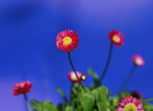 Red and yellow blooming flower with out of focus blue sky background. Red and yellow flower in bloom with out of focus dark blue sky background Stock Image