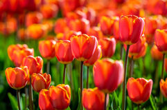 Red and yellow blossoming tulips in early morning sunlight Stock Photos