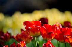 Red and yellow blossoms Royalty Free Stock Photo