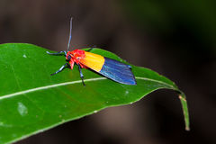 Red yellow blue moth Royalty Free Stock Image