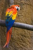 Red, yellow, blue parrot. Colorful red, yellow and blue parrot looking over his shoulder Royalty Free Stock Photography
