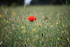 Wild flower patch with a single red poppy mixed wild flowers stock photo