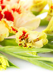 Red and yellow bright gladiolus  vertical Stock Images