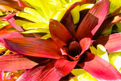 Red and Yellow Bromeliads Stock Photography