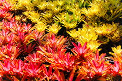Red and Yellow Bromeliads Royalty Free Stock Photos