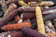 Colorful dried corn on the cob royalty free stock photo
