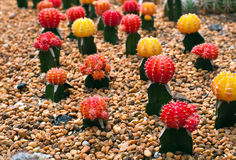 Red and yellow cactus. On the rock Stock Photography