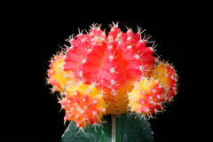 Red and yellow cactus Stock Photography