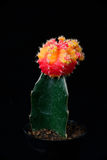 Red and yellow cactus Royalty Free Stock Images