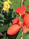 Red and yellow Canna flowers. Close up of red and yellow Canna flowers in sunny garden Royalty Free Stock Photos