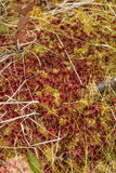 Red and yellow caps of Sphagnum peat moss in Maine. royalty free stock images