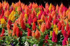 Red and yellow celosia flower in sunlight at morning Stock Photo