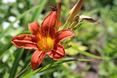 Red with yellow centre Day Lily Royalty Free Stock Photo