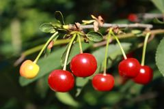 Red and yellow cherries on the branch with leaves royalty free stock photo