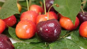 Red and yellow cherries fruit with water drops and tree branch with green leaves. Sweet fresh red and yellow cherries fruit with water drops and tree branch with stock video footage