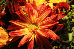Red and yellow chrysanthemum Royalty Free Stock Photo