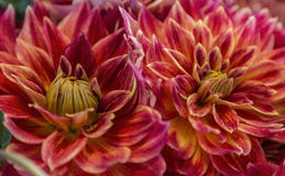 Red and yellow Chrysanthemum Blossom. Chrysanthemum with red petals variegated with yellow (Chrysanthemum Ateraceae) as part of a bouquet useful as a background Stock Photos