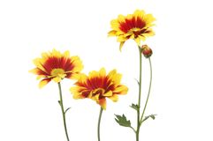Red and yellow chrysanthemum flowers. Isolated against white Royalty Free Stock Photo