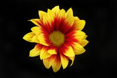 Chrysanthemum against black. Red and yellow Chrysanthemum isolated against black Stock Photo