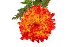 Red Yellow chrysanthemum Royalty Free Stock Images