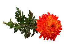 Red Yellow chrysanthemum Stock Photo
