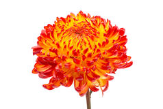 Red Yellow chrysanthemum Royalty Free Stock Photo