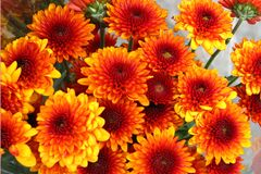 red-and-yellow chrysanthemums 1 Stock Photo