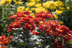 Red and yellow chrysanthemums Royalty Free Stock Photos