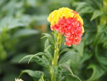 Red and yellow Cockscomb flowers Name of Celosia cristata The flowers are small in size but will stick together into the same. Macro red and yellow Cockscomb stock photography
