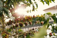 Red and Yellow Coffee Berries on Branch stock image