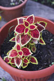 Red yellow Coleus blumei Salmon Lace in pot. Close up Stock Photo