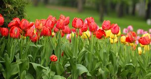Red and yellow color tulip flowers. In the spring park stock images