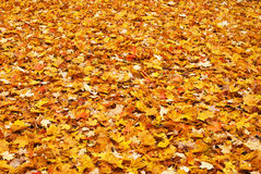 Red yellow colored fall leaves on the ground Stock Photos