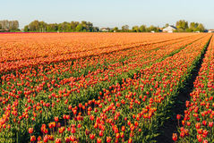 Red with yellow colored tulip flowers in long converging flower. Beds at a specialized Dutch bulb nursery. It is early in the morning of a sunny day in the Stock Photo