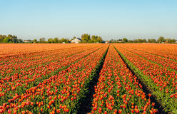 Red with yellow colored tulip flowers in long converging flower. Beds at a speciliazed Dutch bulb nursery. It is early in the morning of a sunny day in the Stock Image