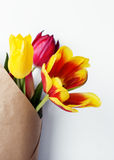Red and Yellow Colored Tulip Flowers  on. Studio Shot of Red and Yellow Colored Tulip Flowers Royalty Free Stock Photo