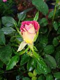 Red & yellow by colour rose flower bud. This image red & yellow by colour rose flower bud Stock Images