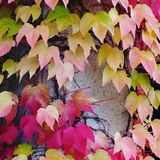 Red and yellow coloured autumn leaves. Red yellow coloured autumn leaves stock images