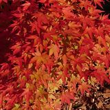 Red and yellow coloured autumn leaves. Red yellow coloured autumn leaves season royalty free stock images