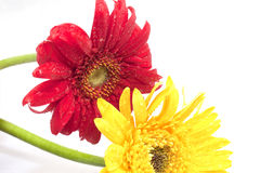 Red and yellow coreopsis Stock Photos
