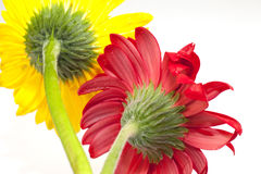 Red and yellow coreopsis Royalty Free Stock Image