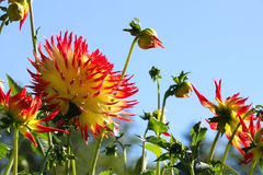 Dahlia flowers and buds Royalty Free Stock Photos