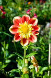 Red and yellow dahlia Royalty Free Stock Image