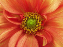 Red yellow dahlia  flower. Macro. yellow pistils, stamens. Green Center. Stock Images