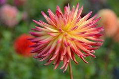 Red and yellow dahlia flower. On a dahlia nursery Stock Photography